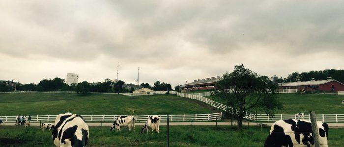 Image showing Holsteins on Horsebarn Hill at UConn.