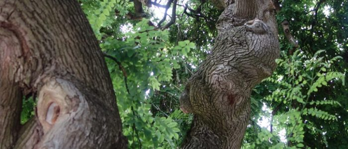 Image taken from underneath the Weeping Japanese Tree, near Fine Arts on the UConn campus
