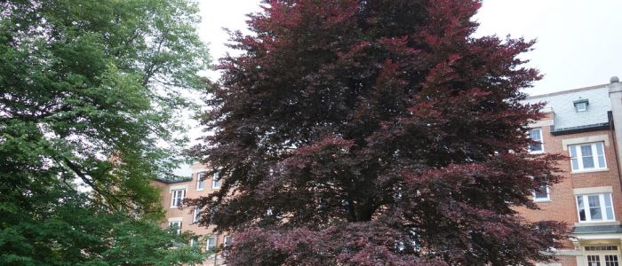 Image of a large, beautiful Copper Beech on the UConn Campus