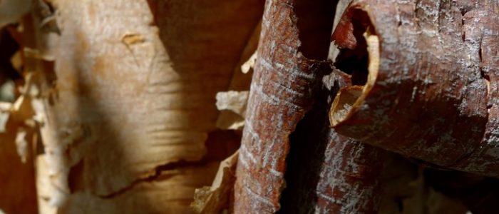 Bark of Acer griseum, paperbark maple