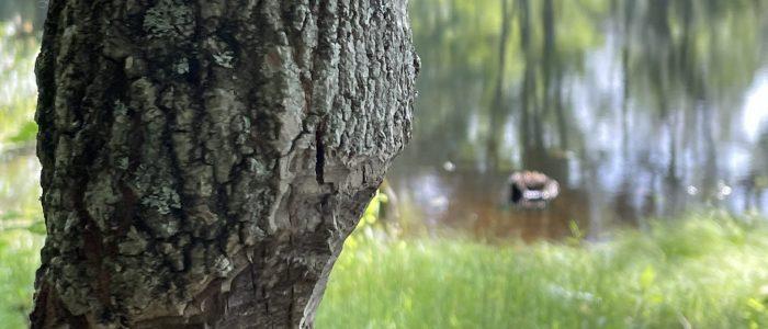 Mt. Hope Park beaver damaged tree near pond.